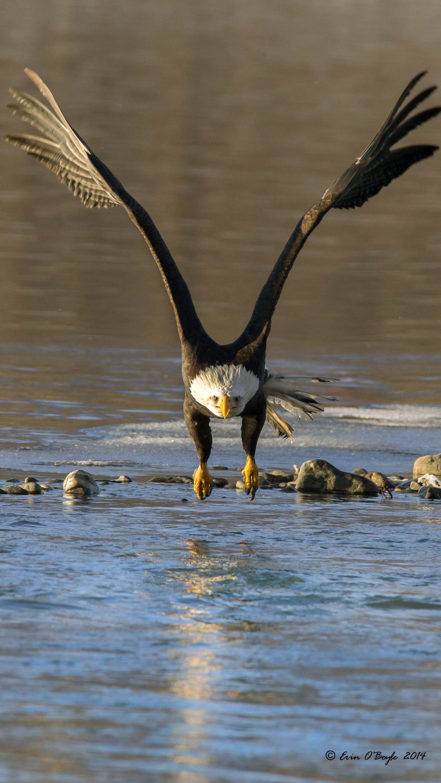 Bald Eagle head-on