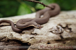 Snake+Animal+Photography+Tennessee+buy+local+art