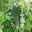 Thumbnail: ゴーヤスムージー7pcs チョイ飲み一週間お試しセット