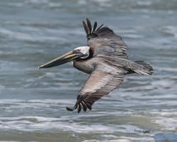 pelicanflying
