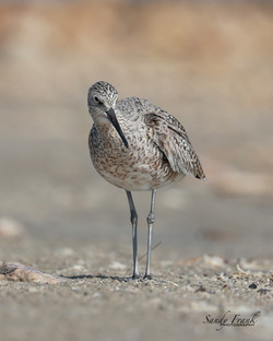 shorebird2