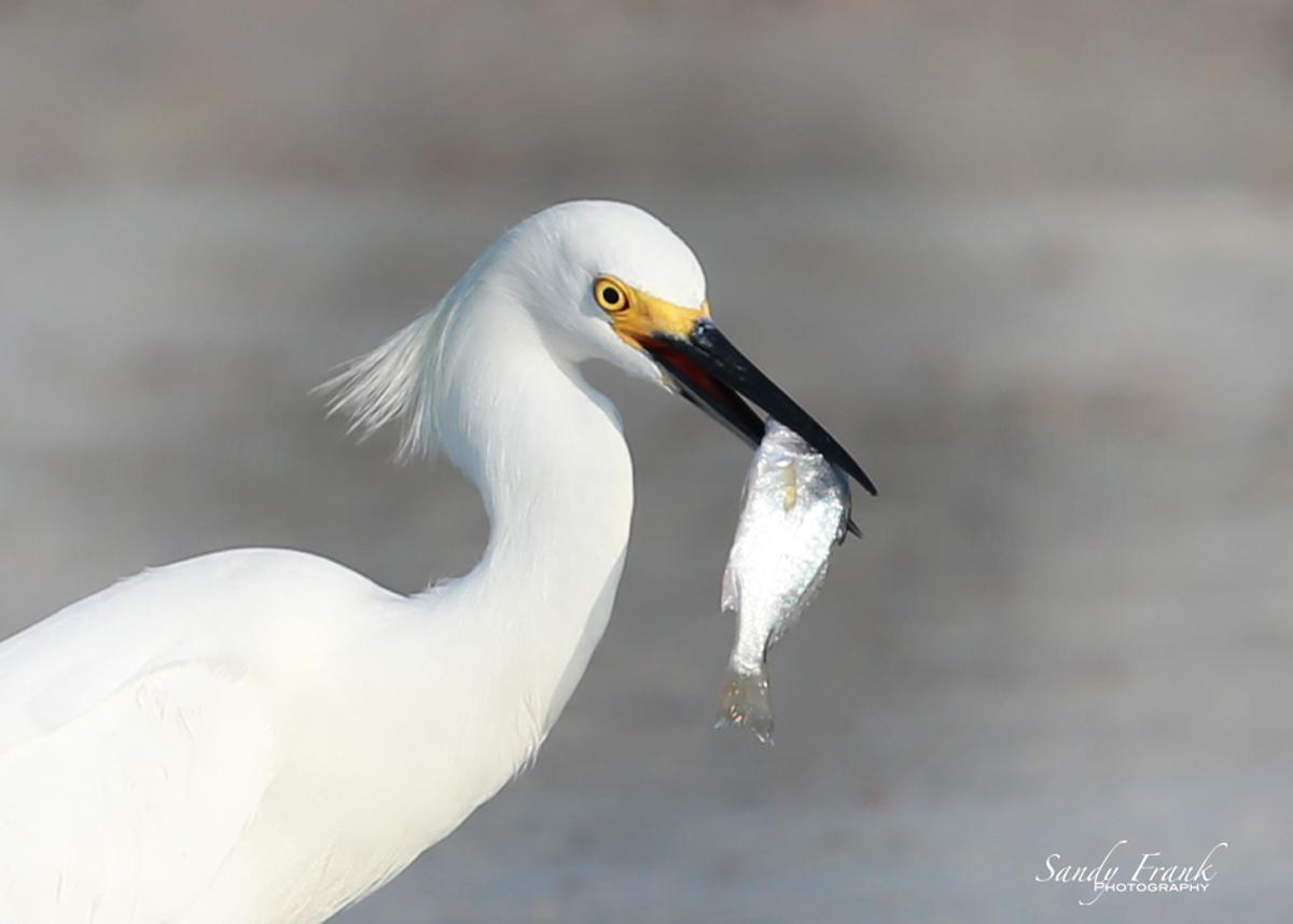 snowyegretfish