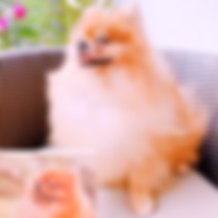 AAGWOOD Influencer-Nugget Pomeranian - R