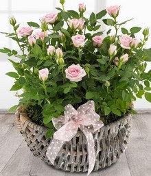Rose planted basket