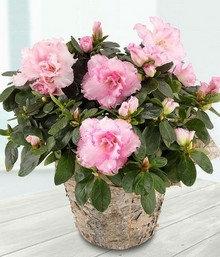 Azalea planted basket