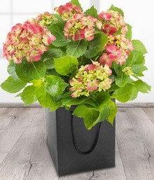 Hydrangea in bag