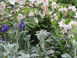 Gisborne cottage garden