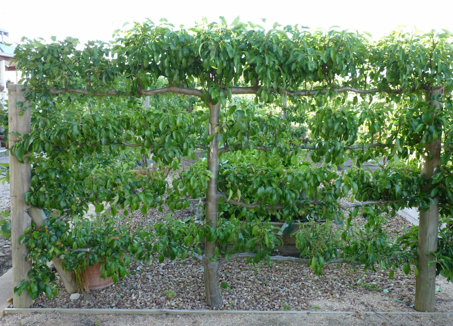 Gisborne Espalier Fruit Trees