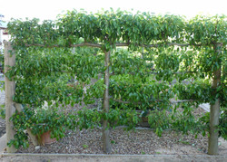 Gisborne espalier fruit trees