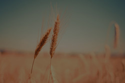 wheat-865152_edited_edited