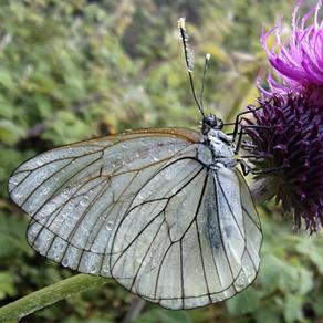 Les insectes pollinisateurs 3