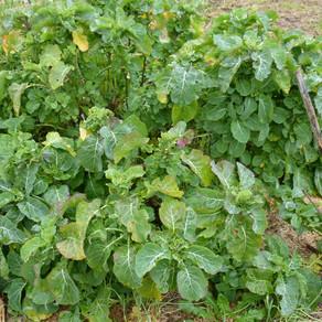 Les légumes oubliés : Le chou perpétuel de Daubenton
