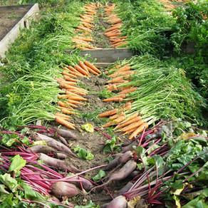 Un nouveau jardin              avec des légumes oubliés