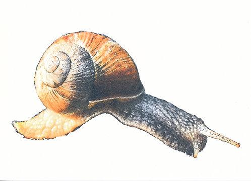 Henri Hiltunen / Snail