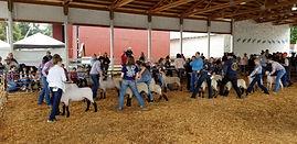 Lamb Show
