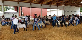 Youth Sheep Show