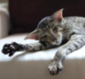 orientální kočka