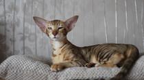 Nová orientální kočička!