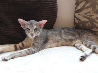 Obě naše orientální kočičky čekají koťátka!
