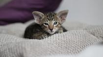 Orientální koťátko je volné k zamluvení!