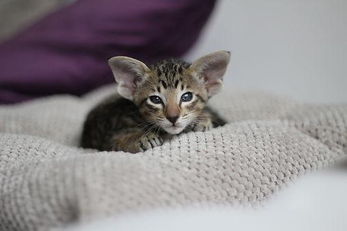 orientální koťátka