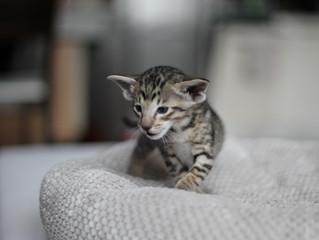 Máme orientální koťátko!