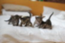 orientální koťata