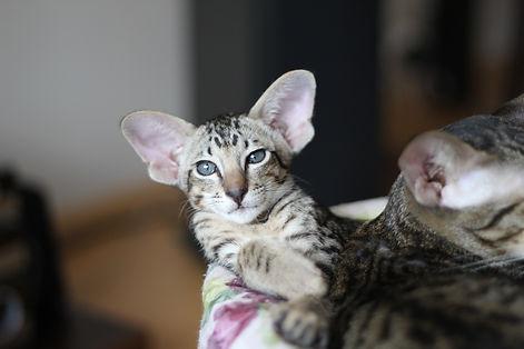 orientální koťátko