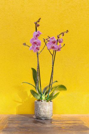 Frozen Pink Orchid