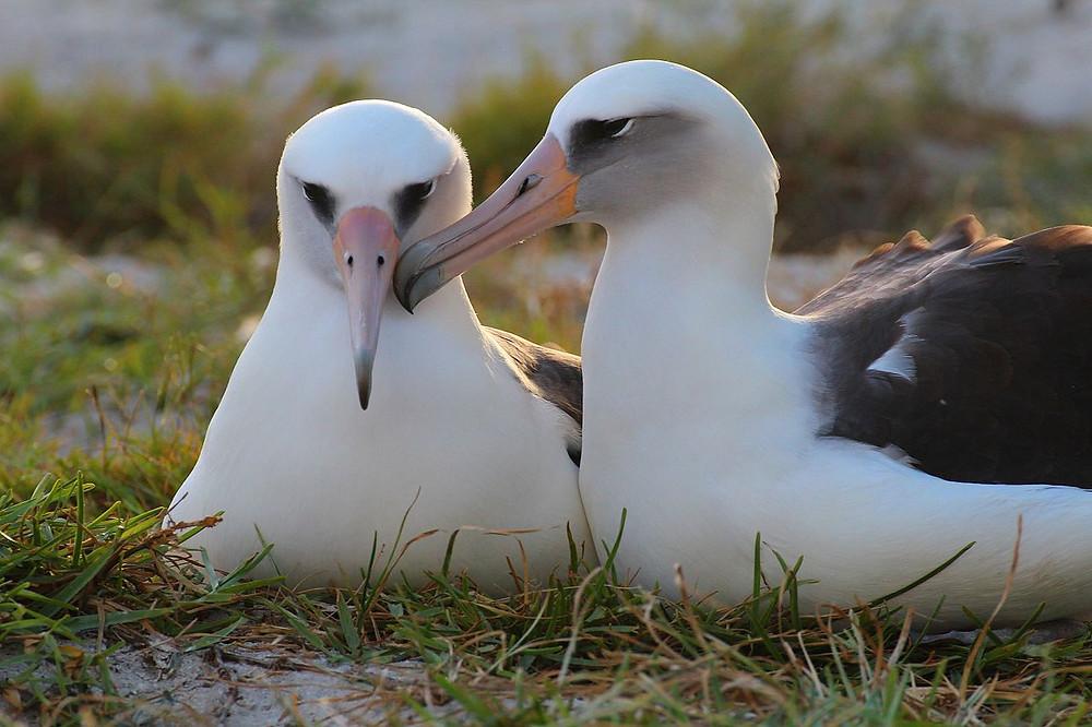 Wisdom the albatross and her mate. By USFWS - Pacific Region - WisdomLove11.21.2015 Kiah Walker, Public Domain