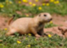 Cynomys_ludovicianus_-Paignton_Zoo,_Devo