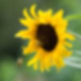 jardin tournesol.jpg