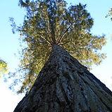 sequoia géant.JPG