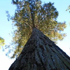 Comment reconnaître un séquoia ? Quelques spécimens dans les Vosges ?