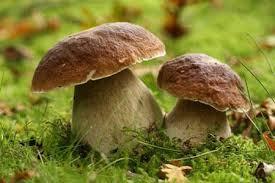 Ou trouver le cèpes de Bordeaux dans les Vosges?