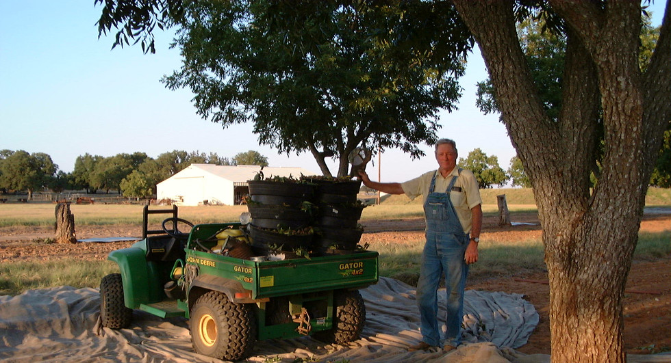 Buddy was still harvesting pecans at the age of 85.