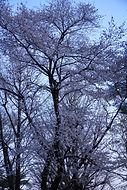 夜桜小.jpg