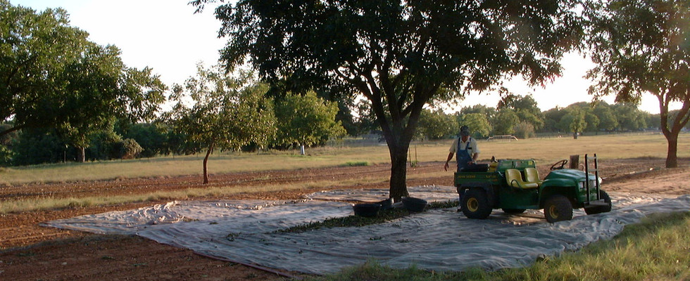 The pecans are windrowed for easier shoveling into containers.