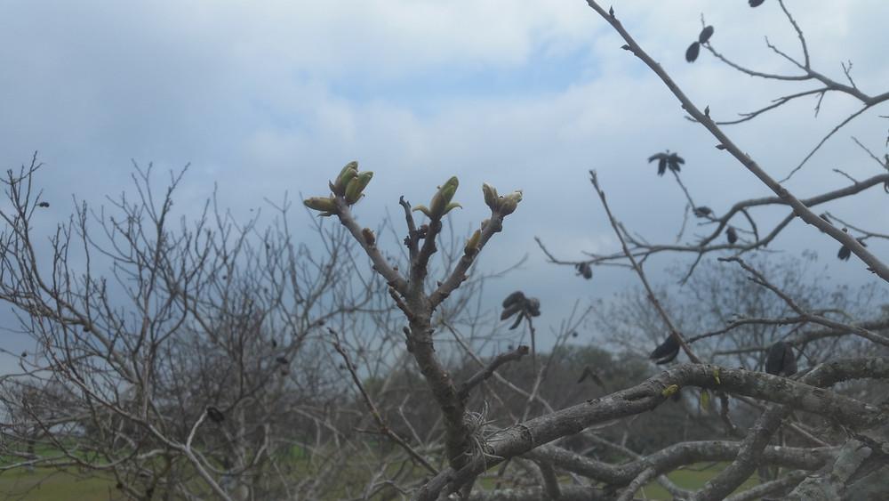 Bud break in the pecan orchard