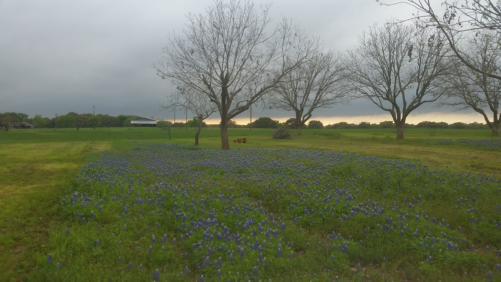 Bluebonnets in the pecan orchard
