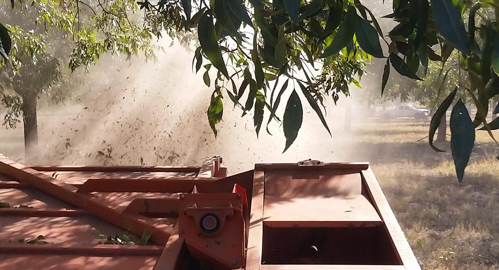 Mechanical harvester at work