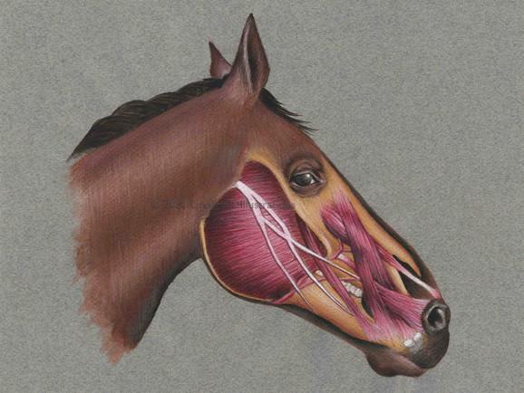 Horse Head Anatomy
