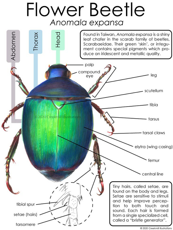 Flower Beetle Poster
