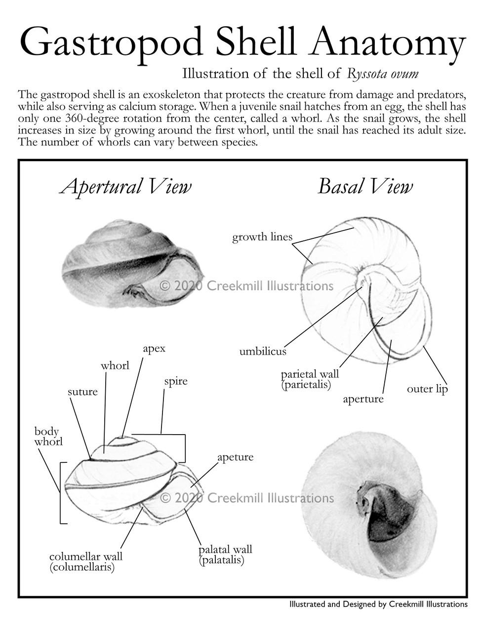 Gastropod Shell Anatomy Poster