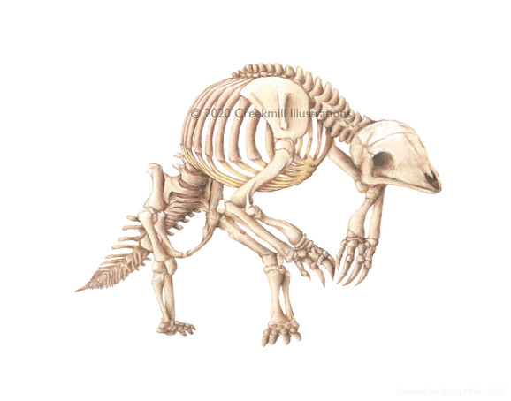 Giant Pangolin Skeleton