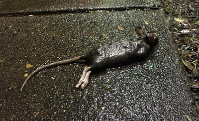 drowned rat