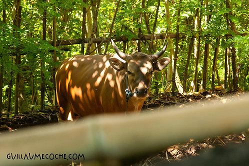 Bamboo & horns - Indonésie