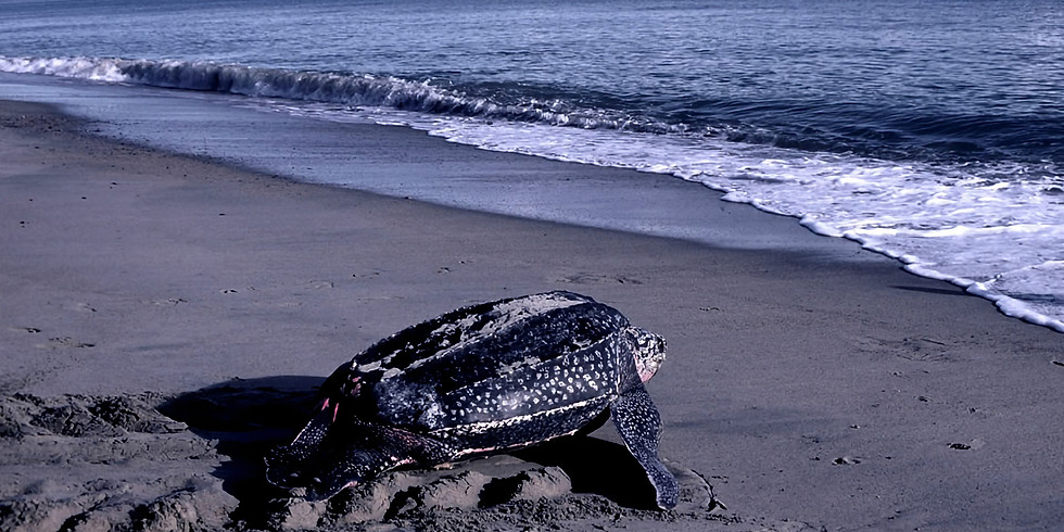 San Pacho: Desove de Tortugas
