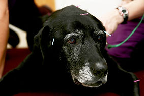 acupuncturedog-closeup.jpg