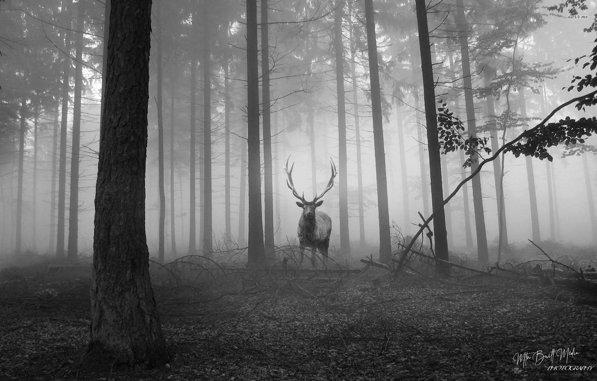 Dark forest bull.jpg